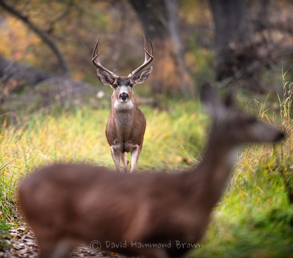 David Hammond Brown Photography - 1 Buck 1 Doe