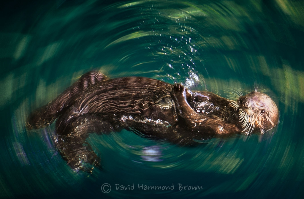 David Hammond Brown Photography - Hartford Otter
